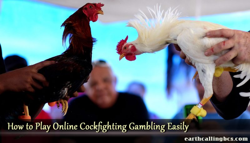 How to Play Online Cockfighting Gambling Easily